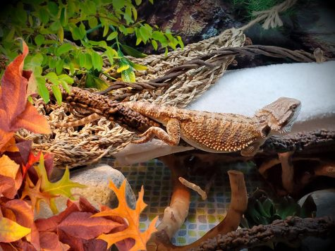 Ash is a bearded dragon and is Mrs. Mulligans pet.